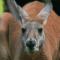 Battle of the Kangaroos