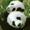 Scientists to clone Giant Panda