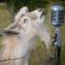 Goat Karaoke