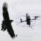 Eagles Trained To Attack Drones